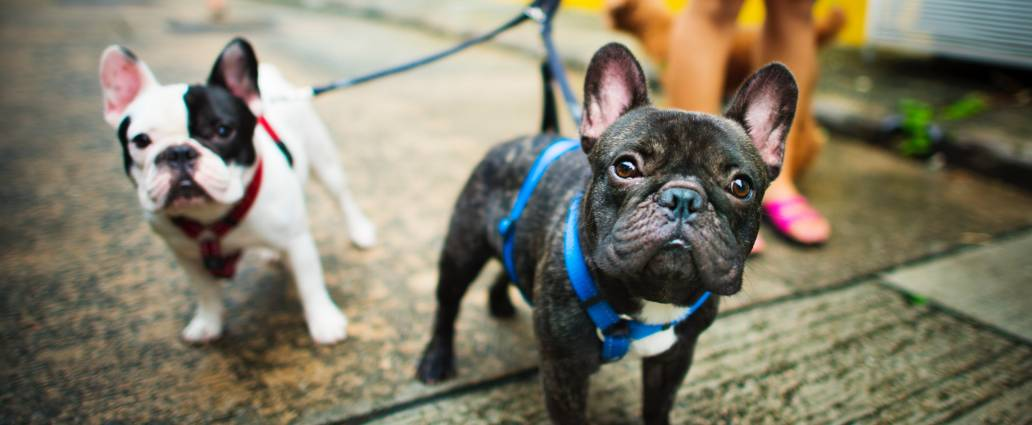 image of 2 french bulldog